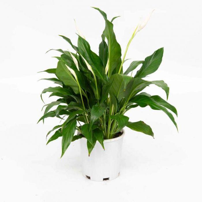 Spathiphyllum  9326974063836P