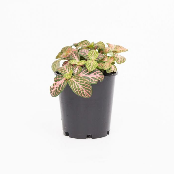 Fittonia Red Cloud  9009990070