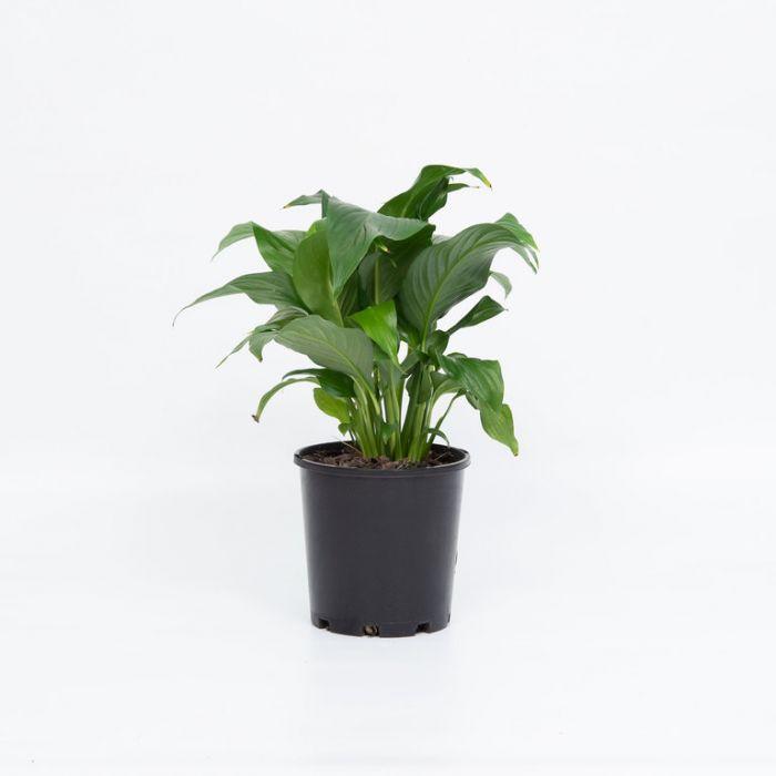 Spathiphyllum Lustre  9313598109743