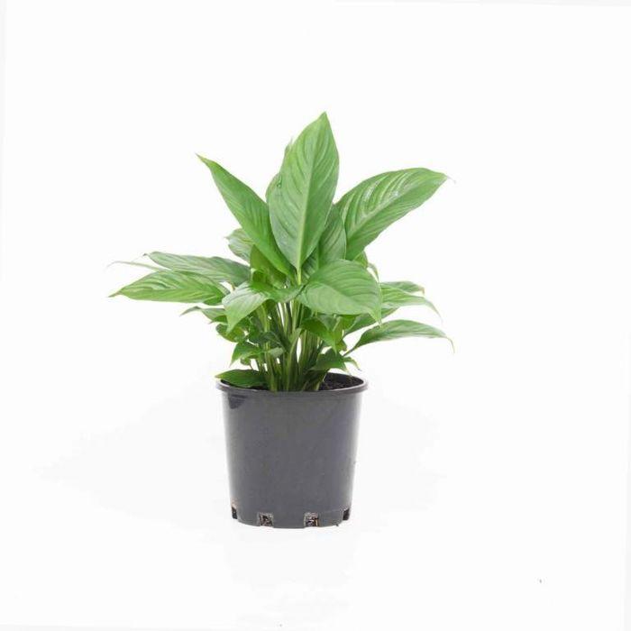 Spathiphyllum Mystique  9313598109934