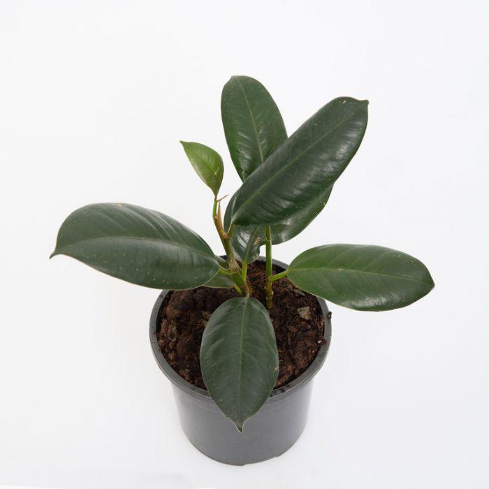 Ficus Elastica Decora  9324228000415