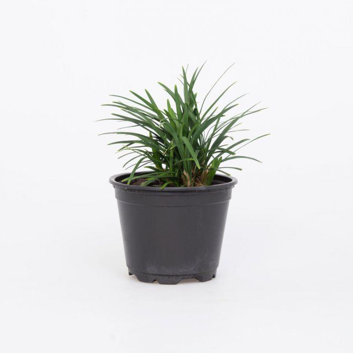 Dwarf Mondo Grass  1382160100P