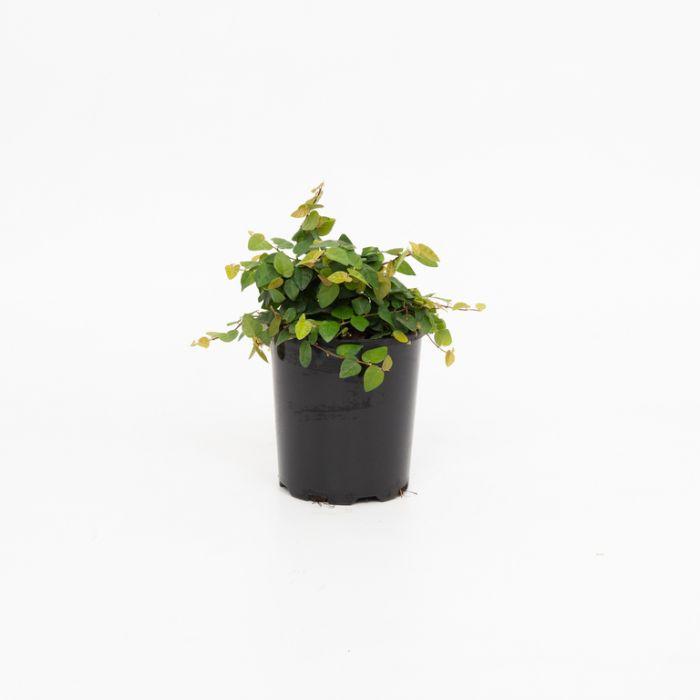 Creeping Fig  1516900125P