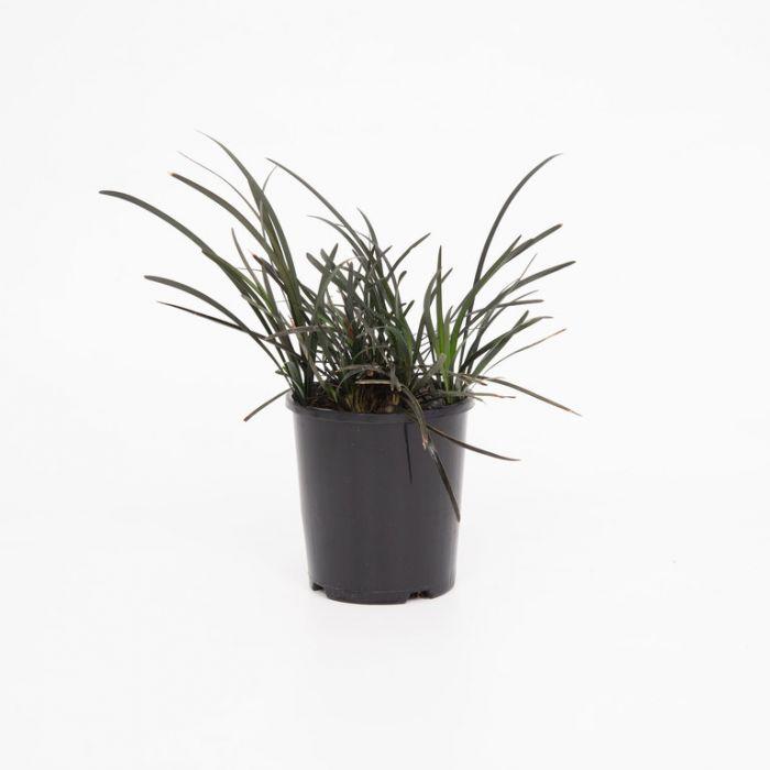 Black Mondo Grass  1636870140P