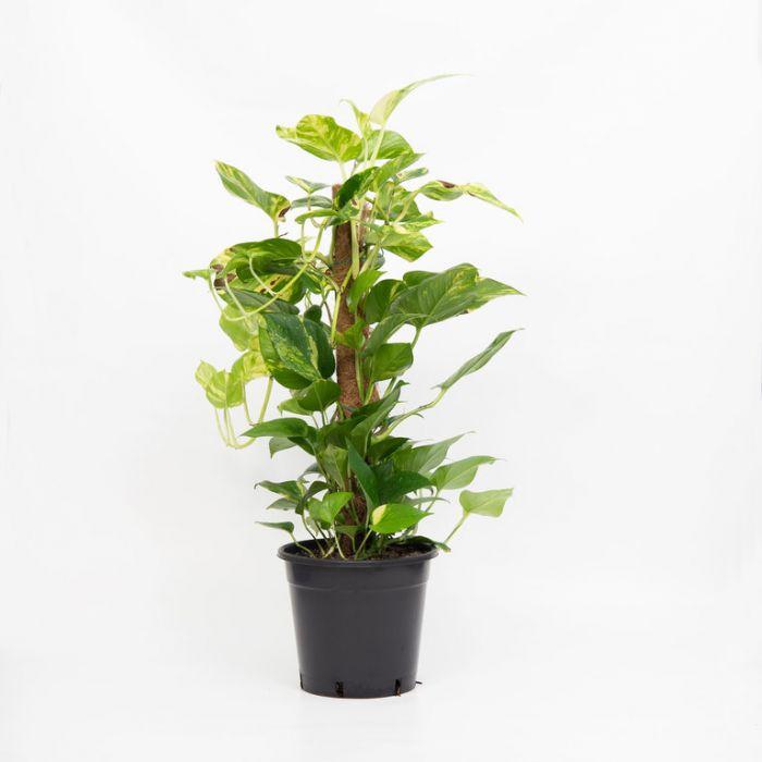 Devils Ivy totem  1534900250