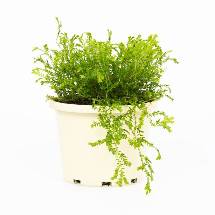 Selaginella Green  9007650130P