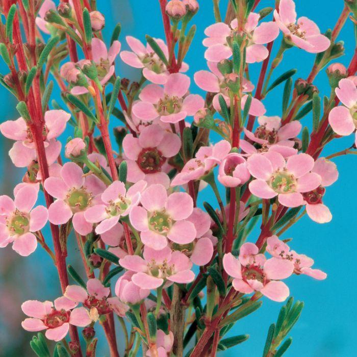 Astartea Winter Pink  9321846020894P