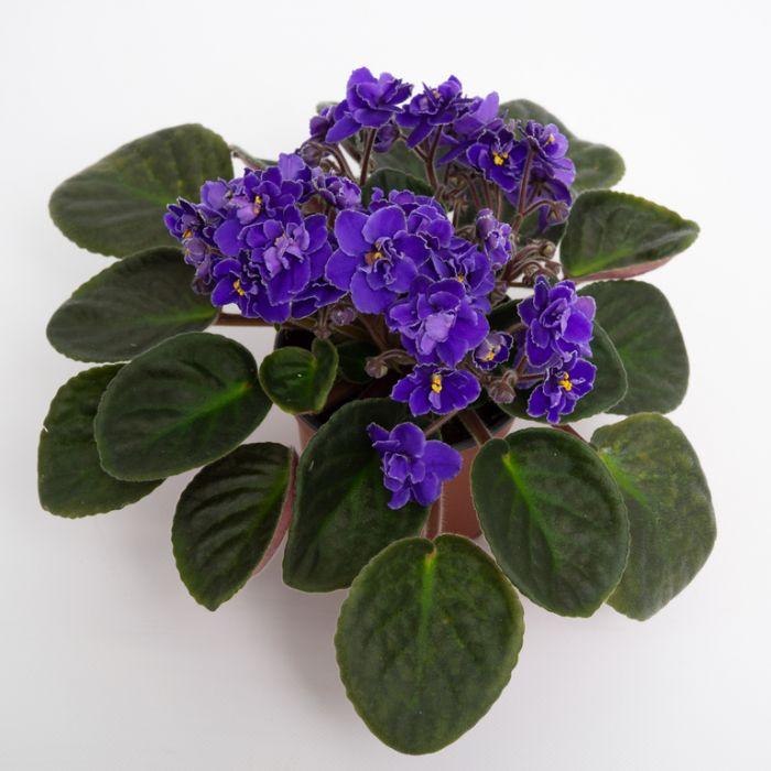 African Violet  172100P