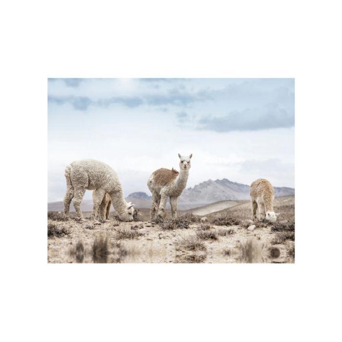 FP Collection Alpaca Views Canvas Wall Art  180138