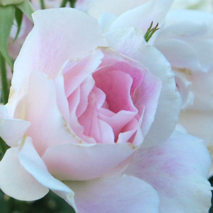 Blushing Pink Iceberg Rose  7702300200P