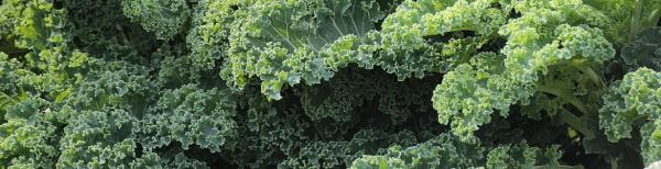 Planting Kale 101: How to grow kale