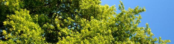 Shade trees for any garden