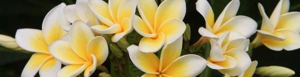 Frangipani care: How to grow a frangipani