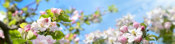 Growing cherry blossoms and other blossom trees in Sydney