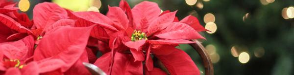 Plants that create a Christmas feel