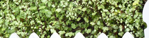 Hedge in a hurry: Top fast-growing hedge plants for Sydney gardens