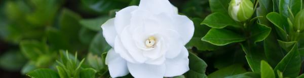 Gardenia Care in Spring