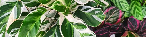Variegated indoor plants: our top picks
