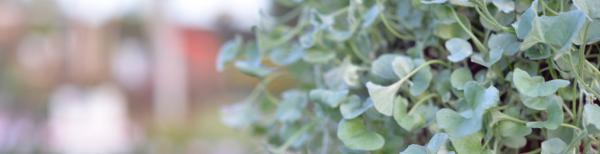Silver and Grey Foliage