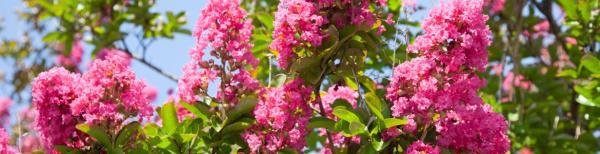 Summer Flowering Trees