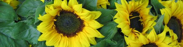 How to grow sunflowers: What to avoid when planting sunflowers