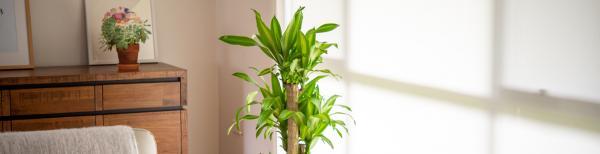 5 big and beautiful indoor plants