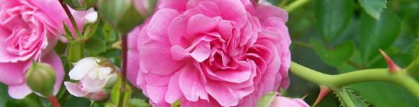 A guide to selecting your perfect rose