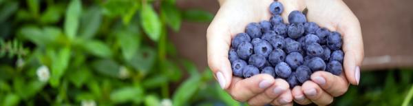 Growing blueberries in Sydney