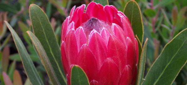 Protea Special Pink Ice