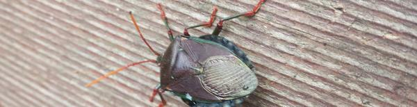 Bronze Orange Bugs