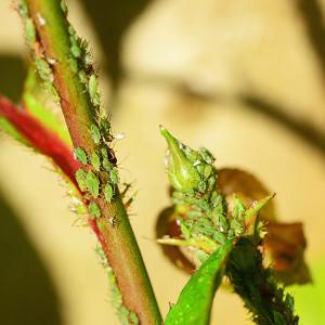 Aphids on a rose bush
