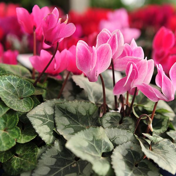 Cyclamen Flower Power