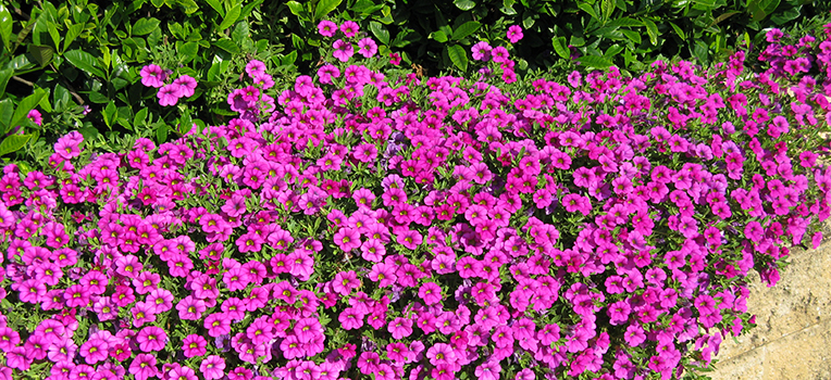 Growing Petunias Flower Power