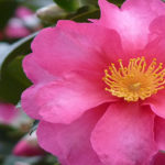 Sasanqua Camellias