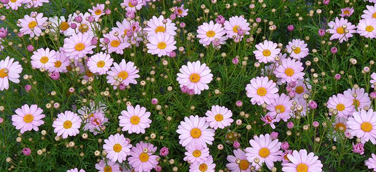 Federation Daisies Flower Power