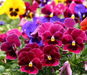Growing pansies   Flower Power