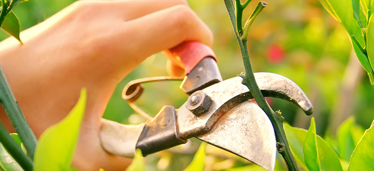 Roses 101: How to prune roses and more insider tips