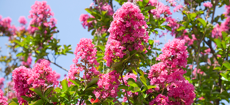 Summer Flowering Trees Flower Power