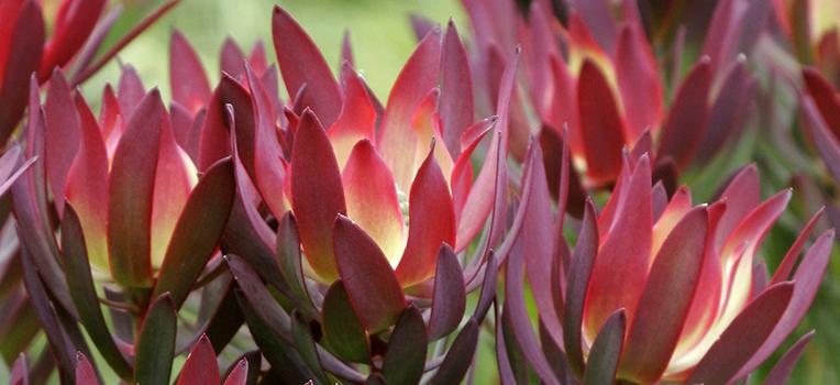 Leucadendron Devil's Blush