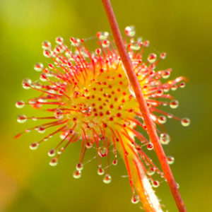 The vibrant sun dew is an outdoor carnivorous favourite.