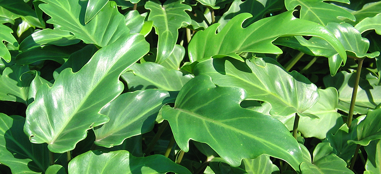Plants with Big Leaves