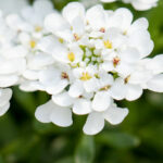 Iberis Candytuft