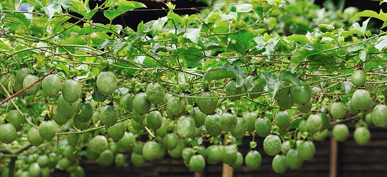 Passion Fruit Growing Images