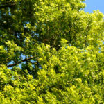 Shade trees for any garden