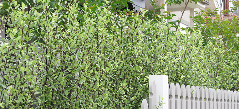Hedging plants over two metres
