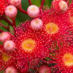 Flowering gum trees