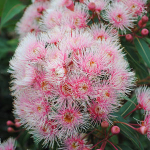 The beautiful, soft pink blossoms of the Fairy Floss grafted flowering gum variety.