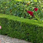 Happy medium hedging plants