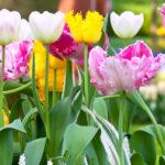 Spring-flowering bulb planting