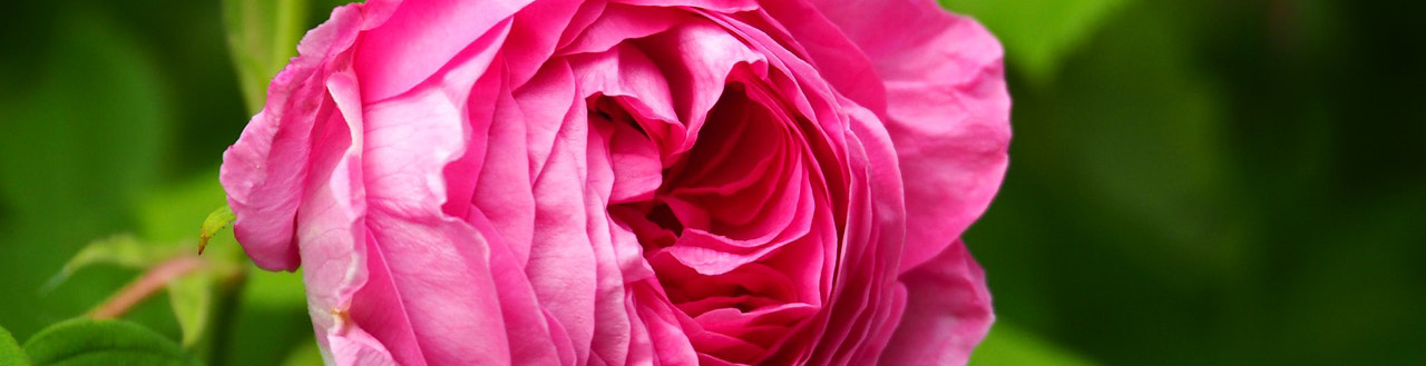 The 10 rose care commandments